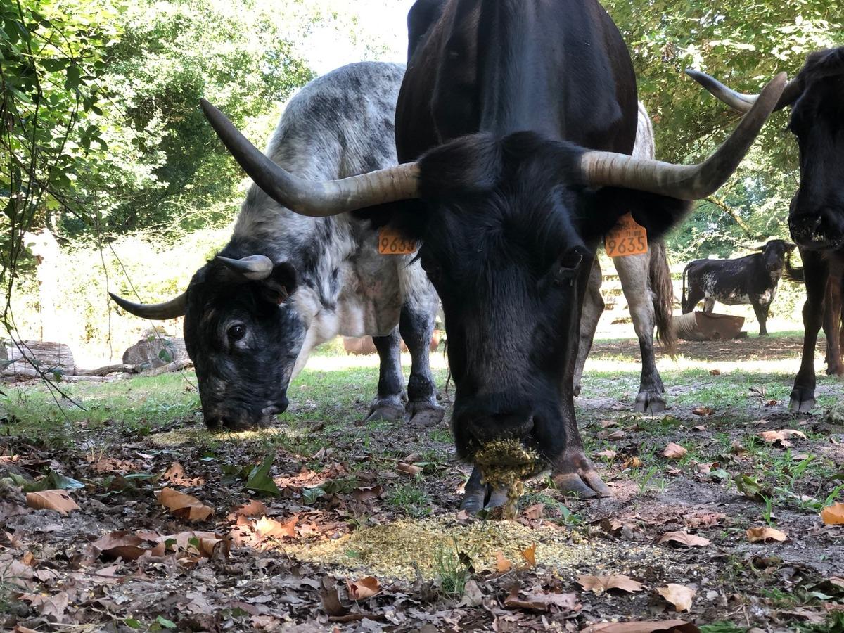 Visite de l'élevage de taureaux et de vaches landaises